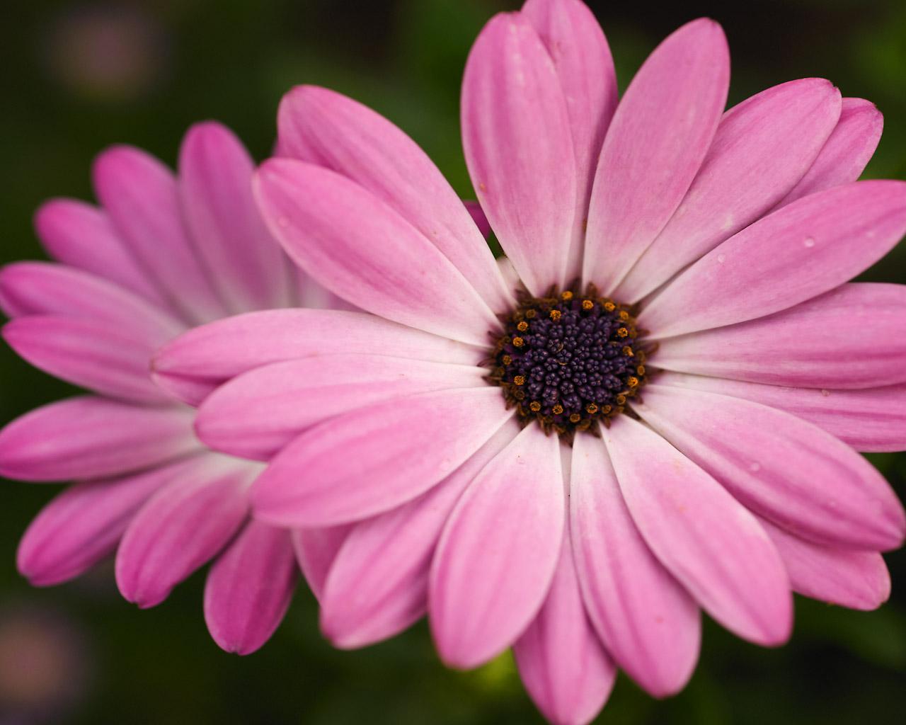 chiiizuka: A Pink Flower