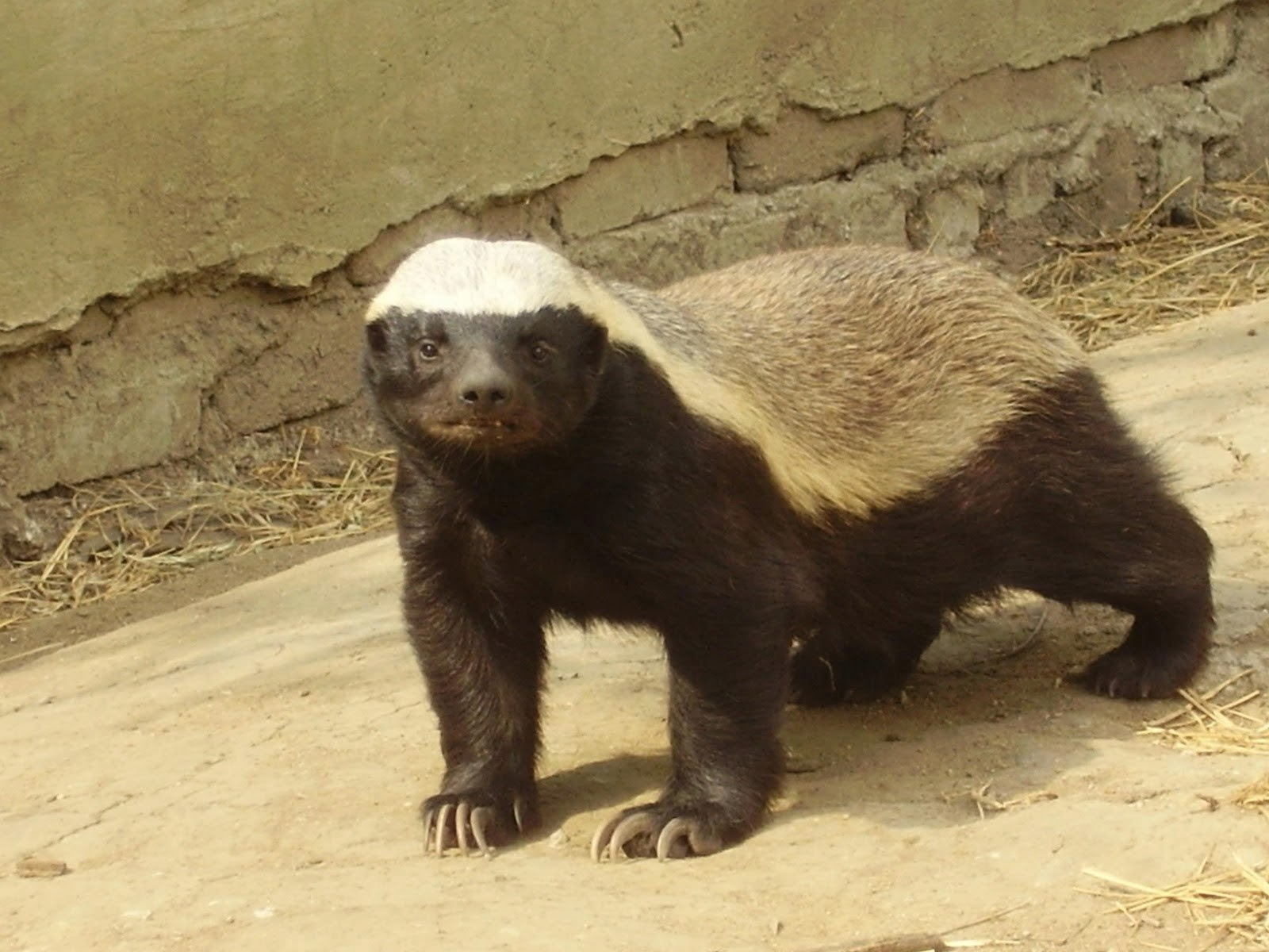 Honey Badger Animals   Amazing Facts & Latest Pictures ...