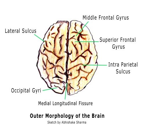 The Human Brain In Photographs And Diagrams 3ph Motor Wiring Diagram Brian Owens Image
