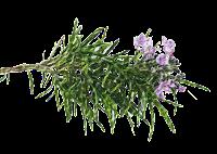 rosmarino della Basilicata, foodfilebasilicata