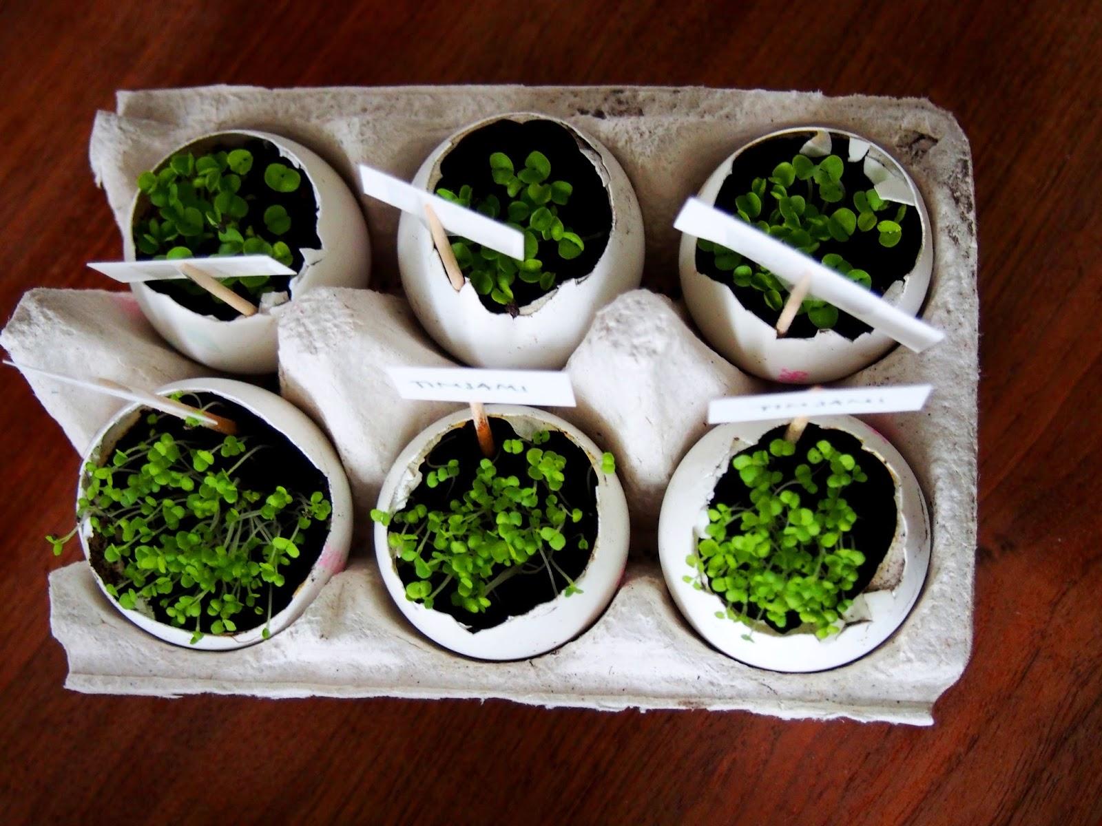 plants, kasvit, kasvattaminen, herb, yrtti, yrtit, timjami, basilika, thyme, basil, pretty, small, pieni, suloinen