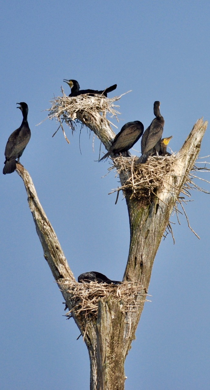 Cormorants nesting on a tree branches.