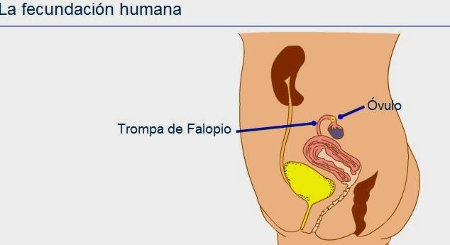 http://www.wikisaber.es/Contenidos/LObjects/human_fert/index.html