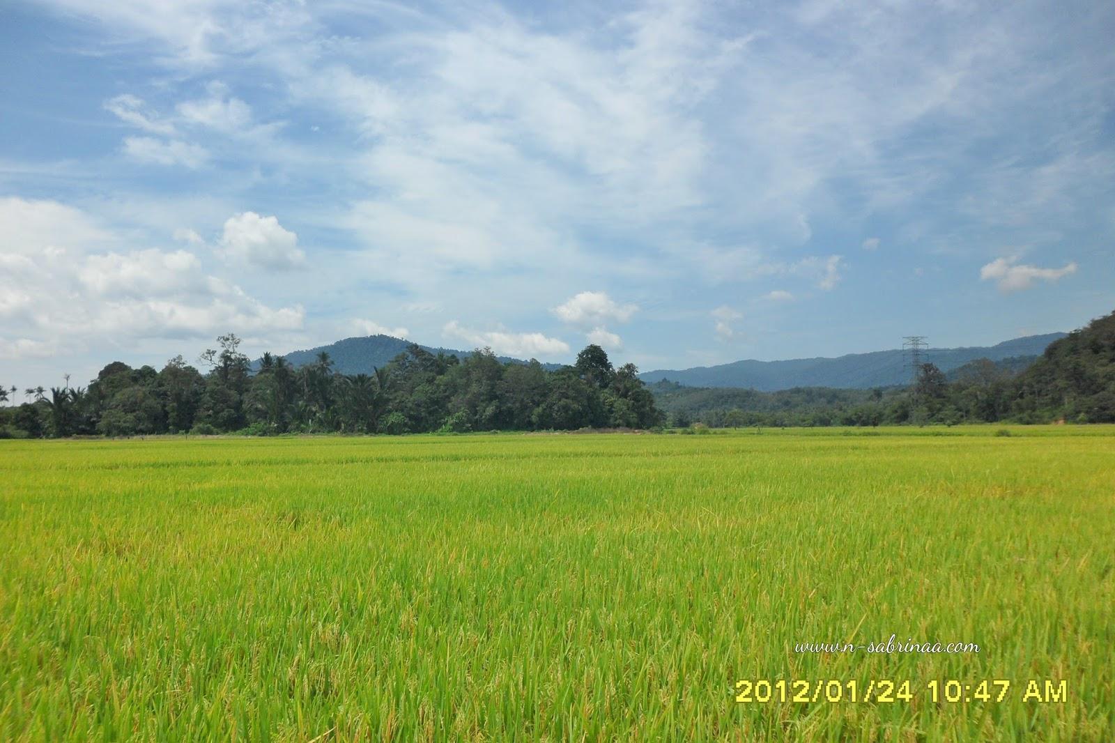 Pemandangan Sawah Padi Di Kuala Pilah Catatan Travel Sabrina