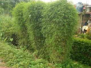Jual Pohon Bambu Jepang