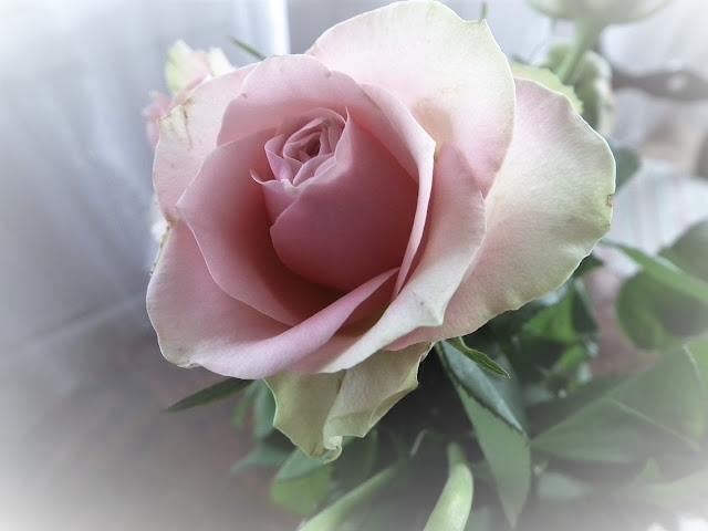 ruusu, vaalenpunainen ruusu, taustakuva, syntymäpäivä ruusu