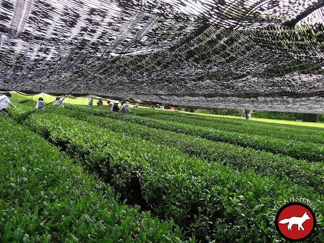 Champs de thé vert gyokuro