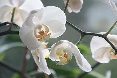 Tanaman Hias Anggrek (Orchidaceae)