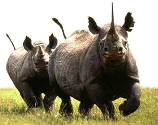 Foto de rinocerontes grandes en el campo