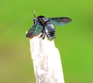 Giant Carpenter Bee (Xylocopa latipes)