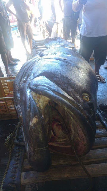 SHOCKING►   A Gigantic Lapu-Lapu Weighing 200kg And 7-Feet Long Was Caught. People Believed That It Swallowed A Human Because Of This!