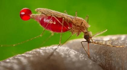Cara membuat perangkap nyamuk