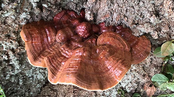 Mushrooms growing on tree trunks from heart rot and root rot