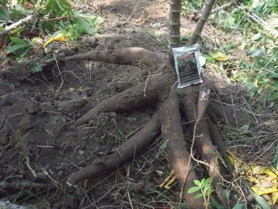 Mosa Meta - Pestisida Organik Perkebunan Untuk Tanaman Singkong