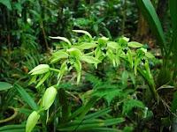 5 Perbedaan Anggrek Hitam Kalimantan dan Papua
