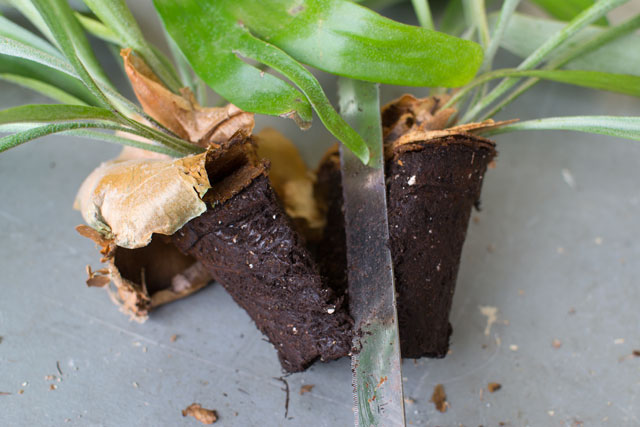 dividing a staghorn fern