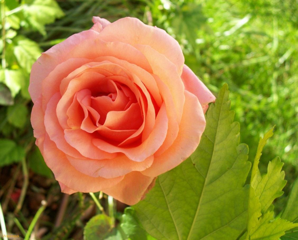 Wedding flowers peach rose wallpapers - Peach rose wallpaper ...