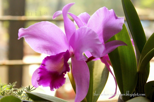 Growing Cattleya orchid in a tropical city windowsill in Mumbai.