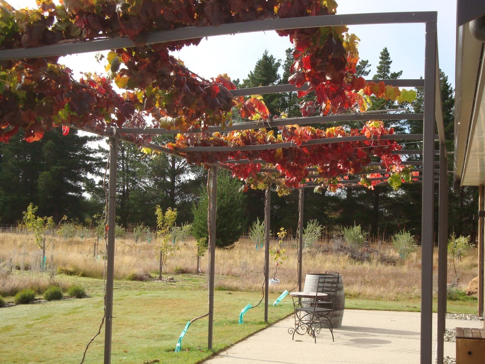 The Field Of Gold Growing Shade Vines On The Pergola