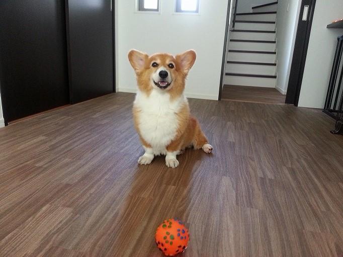 ボールとコーギー01