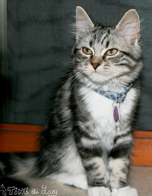 medaglietta per gatto... con la pastina!