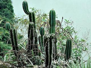 Cactus no Mirante Paga Peão, Pinhal Grande (RS)