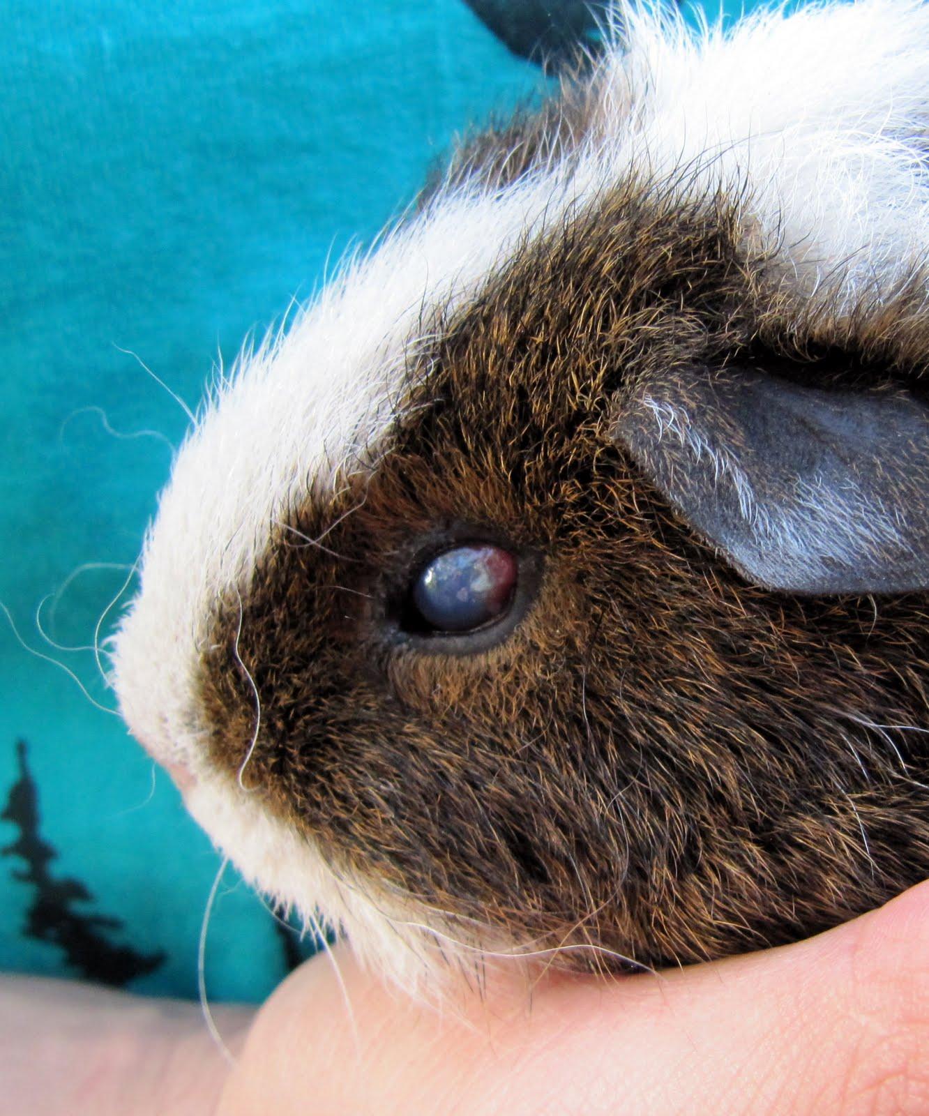 All Things Guinea Pig: Ruby's Sore Eye