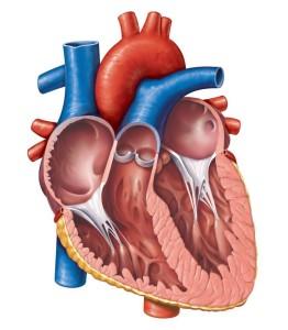 Gambar Jantung Manusia Tanpa Keterangan