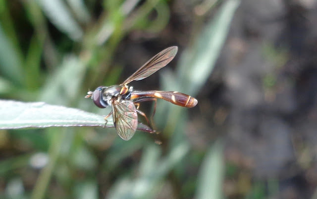 Hoverfly (Syrphidae) in South Florida