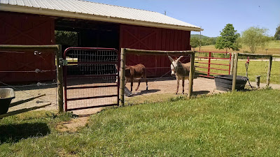 Two Miniature Donkeys In Sunny Paddock