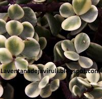 portulacaria-afra-foliis-variegatus