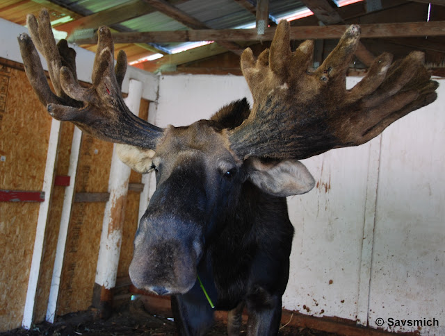 Moose at Reindeer Farm