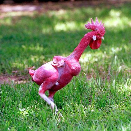 go back gt gallery for gt featherless neck chicken
