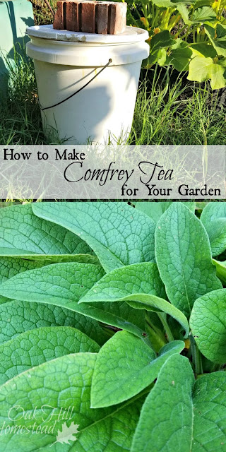 How to make comfrey tea fertilizer for your garden.