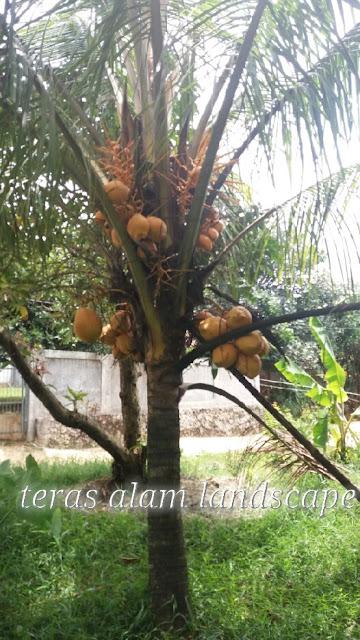jual pohon kelapa gading