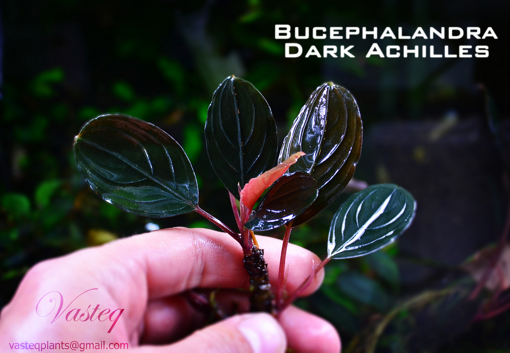 cây thủy sinh Bucep Dark Achilles có nguồn gốc từ Indonesia