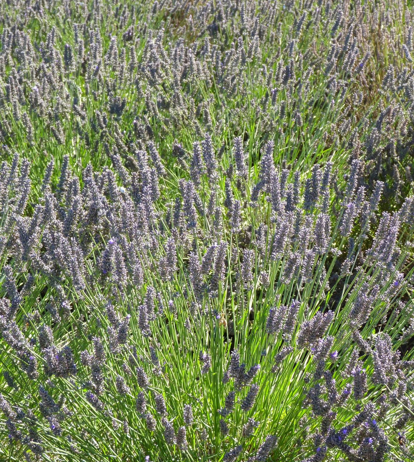 Deborah Lawrenson: The lavender farm and distillery