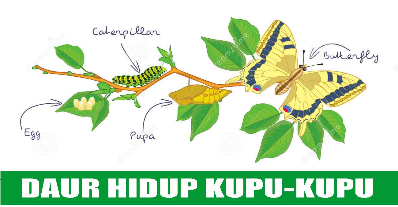 Daur hidup nyamuk katak kupu kupu kecoak dan kucing belajar daur hidup kupu kupu ccuart Gallery