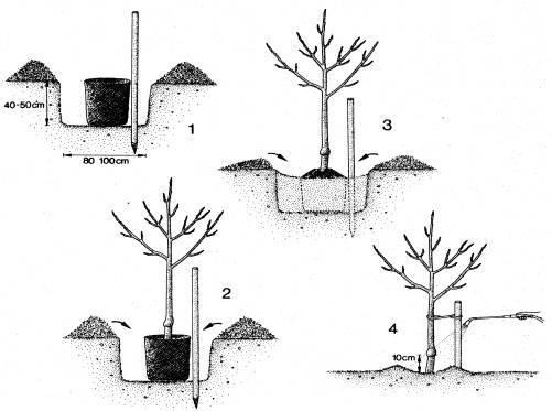 jlo la plantation des arbres fruitiers. Black Bedroom Furniture Sets. Home Design Ideas