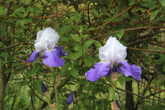 One of the irises spotted at Chaumont