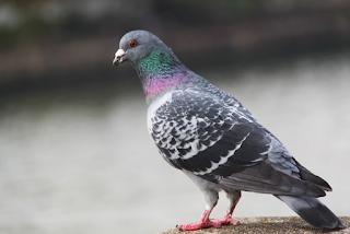 Puisi Burung Merpati