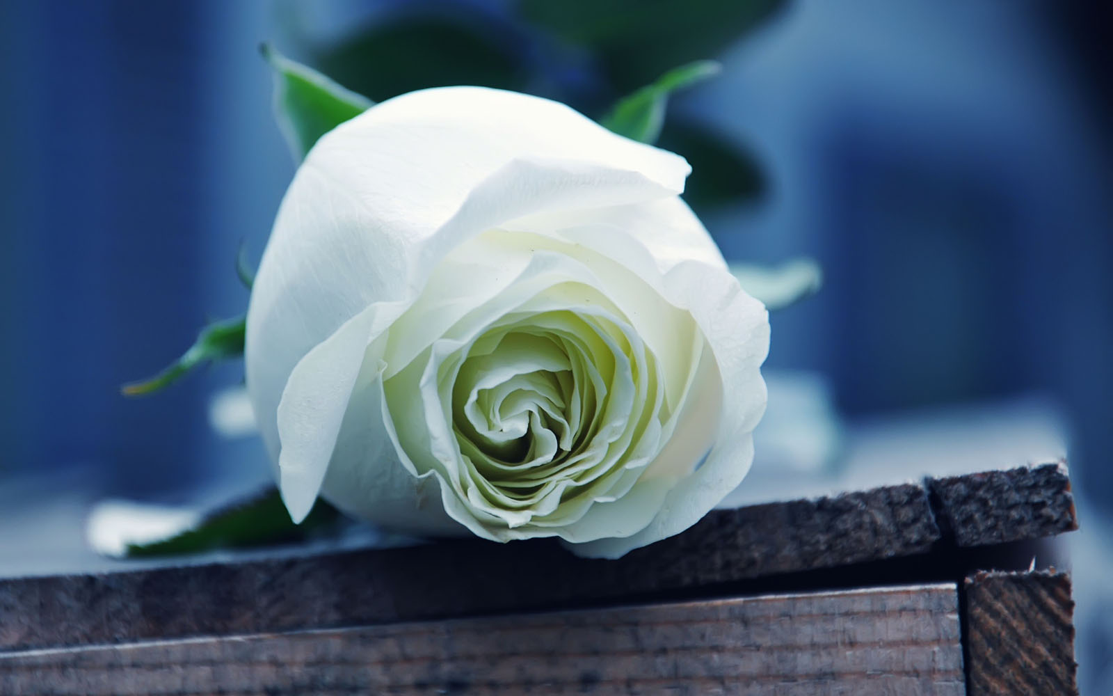 Wallpapers: White Rose Wallpapers