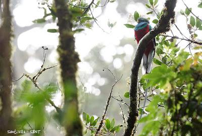 Quetzal (Pharomachrus mocinno)