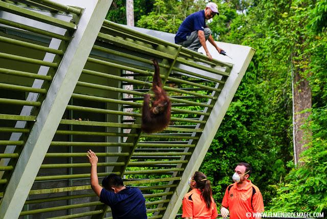 ver-orangutanes-en-borneo-sepilok-equipo-de-voluntarios
