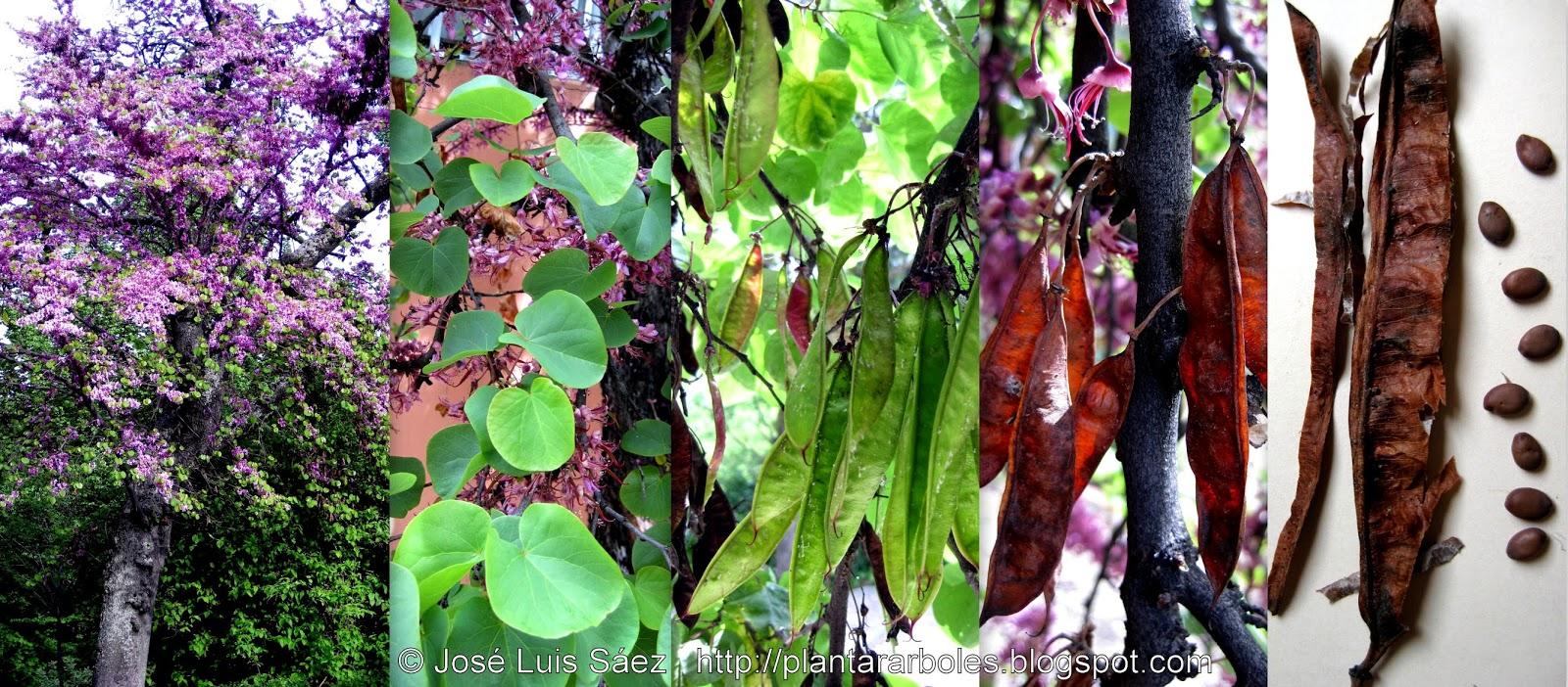Plantar rboles y arbustos rboles no aut ctonos de for El arbol que no tiene hojas