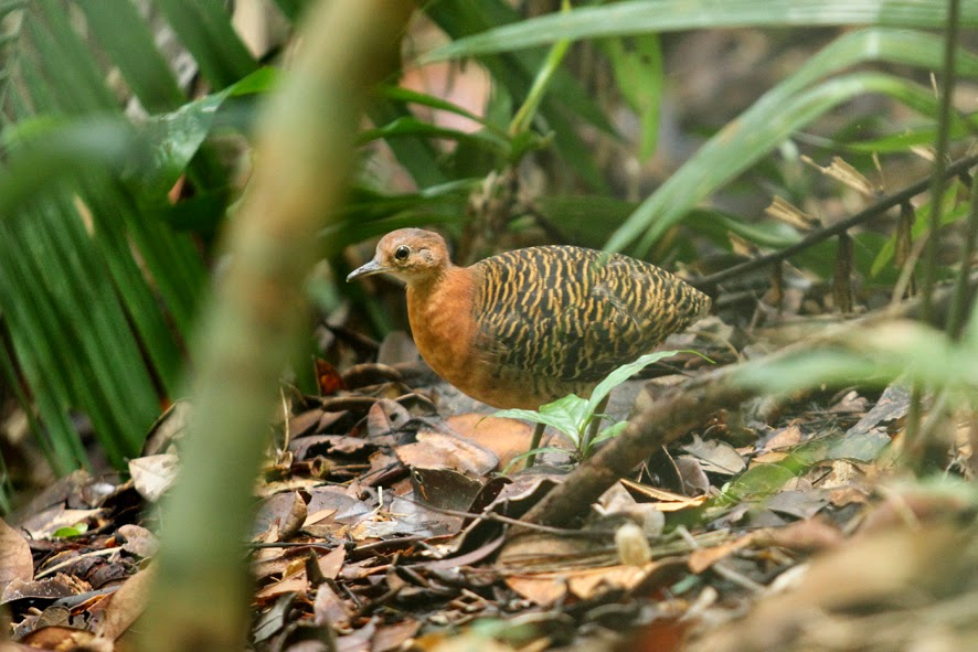 aves de sudamerica Crypturellus brevirostris tinamues