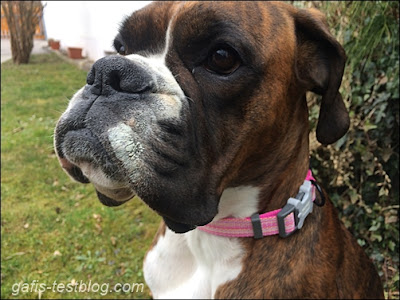 Boxer Amys neues Halsband
