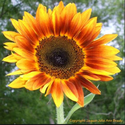 Google Image Search : Pinsdaddy JulieAnnBrady Copyrighted Sunflower Image