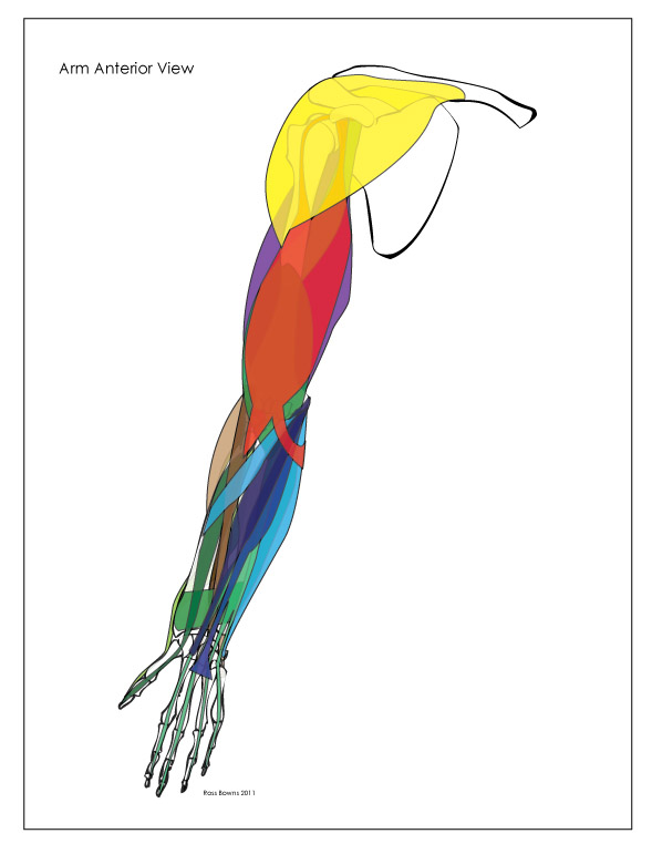 Upper Arm Muscles Diagram 2000 Sv650 Wiring Paint Draw Learn To Anatomy Basics Of The These Charts Are Designed Allow Us See General Shape Placement And Attachment Points Individual Represented In Flat