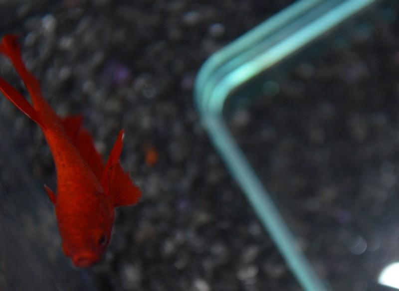 Alfred, mon poisson